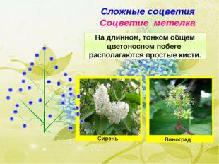 Сложные соцветия Соцветие метелка На длинном, тонком общем цветоносном побеге