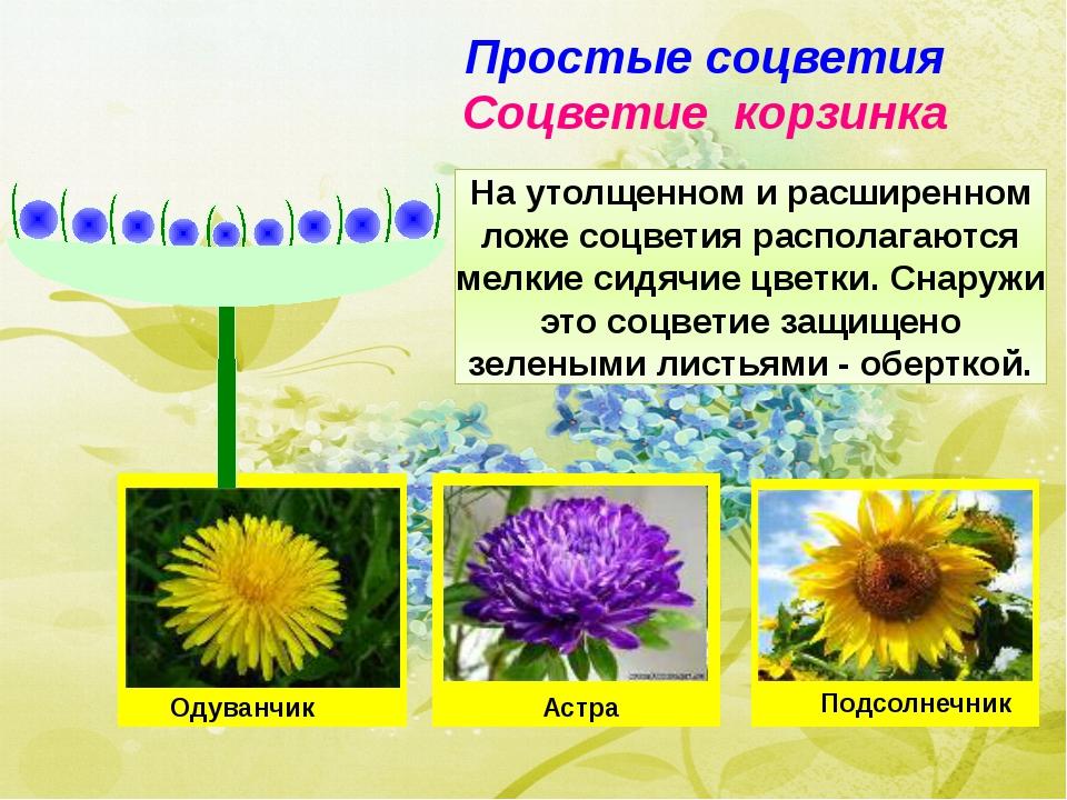 Простые соцветия Соцветие корзинка На утолщенном и расширенном ложе соцветия...