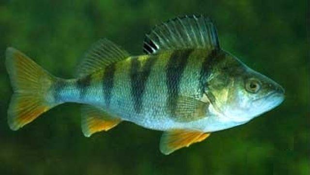 Рыба: Окунь