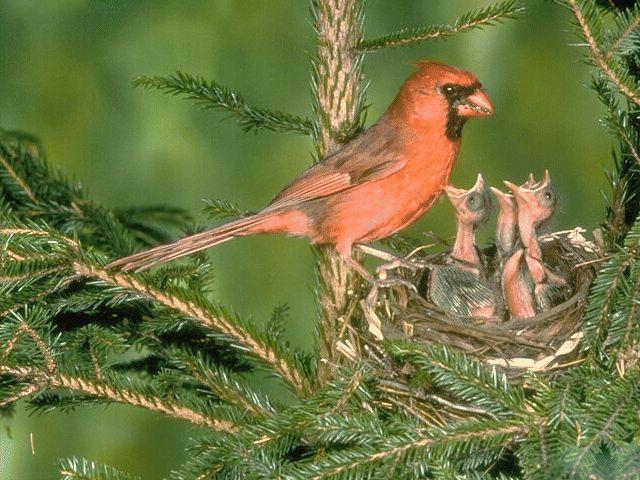 Задачи: организовать деятельность детей по продолже нию знакомства с птицами, их образом жизни