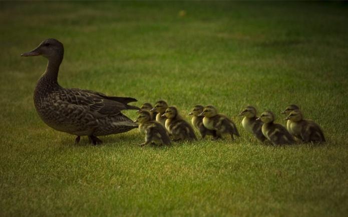Птицы, утка, утята, поляна, выводок обои, фото, картинки.