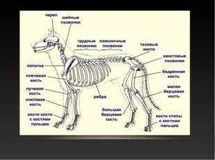 ДАВАЙТЕ ВСПОМНИМ: Какие виды скелета у животных вам известны? Назовите отделы