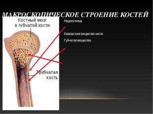 МАКРОСКОПИЧЕСКОЕ СТРОЕНИЕ КОСТЕЙ Надкостница Компактное вещество кости Губчат