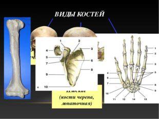 ВИДЫ КОСТЕЙ Трубчатые (конечности) Губчатые (тела позвонков, грудина, кости с