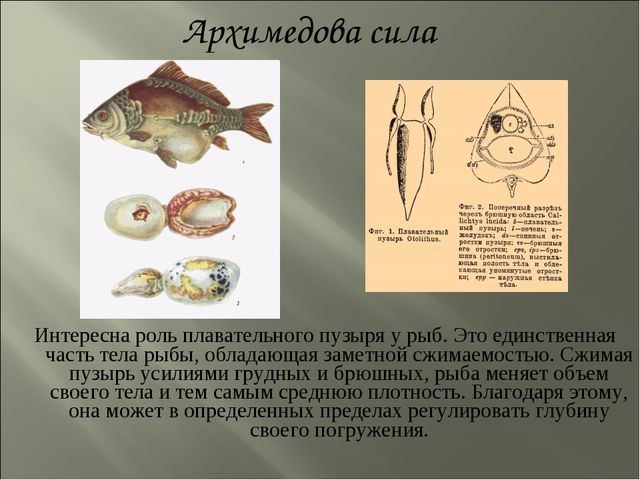 Интересна роль плавательного пузыря у рыб. Это единственная часть тела рыбы,...