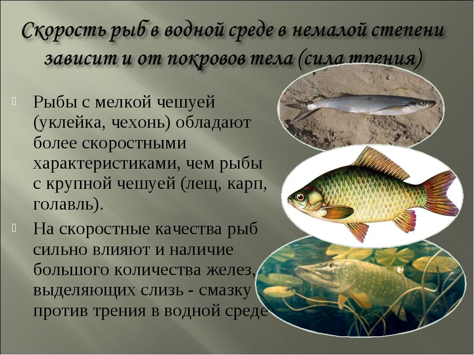 Рыбы с мелкой чешуей (уклейка, чехонь) обладают более скоростными характерист...