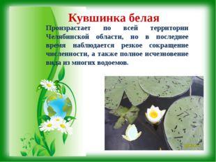 Кувшинка белая Произрастает по всей территории Челябинской области, но в посл