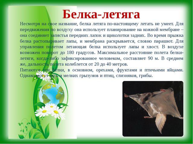 Белка-летяга Несмотря на свое название, белка летяга по-настоящему летать не...