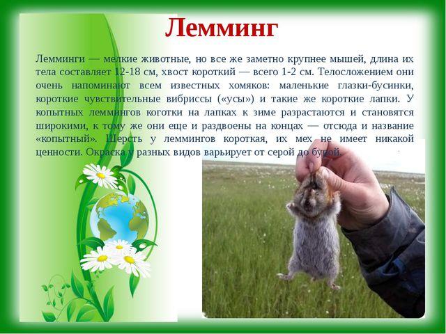 Лемминг Лемминги — мелкие животные, но все же заметно крупнее мышей, длина и...