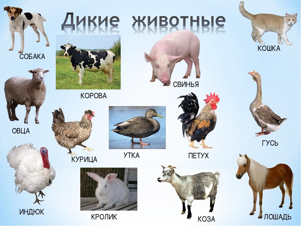 или корова лошадь овца свинья картинки пол будет