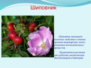 Шиповник Шиповник оказывает полезные свойства в лечении органов пищеварения,