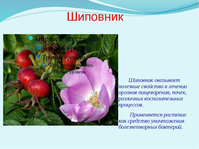 Шиповник Шиповник оказывает полезные свойства в лечении органов пищеварения,...