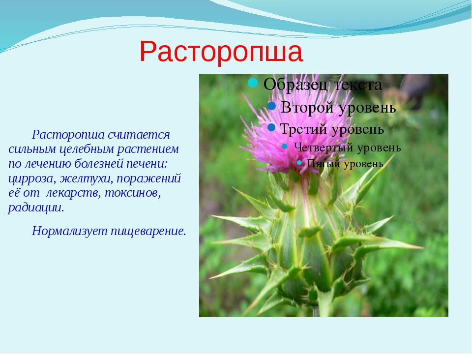 Расторопша Расторопша считается сильным целебным растением по лечению болезне...