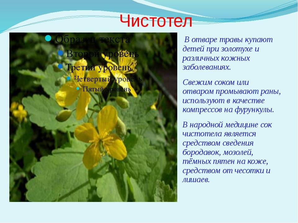 Чистотел В отваре травы купают детей при золотухе и различных кожных заболева...