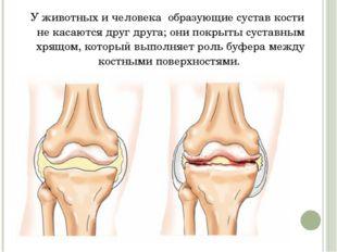 У животных и человека образующие сустав кости некасаются друг друга; они п
