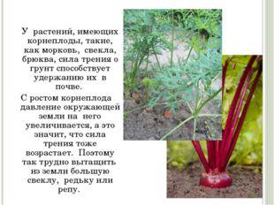 У растений, имеющих корнеплоды, такие, как морковь, свекла, брюква, сила т