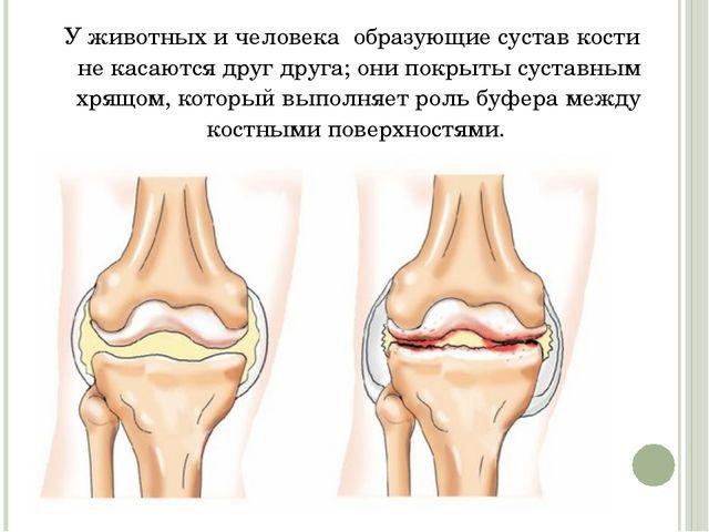У животных и человека образующие сустав кости некасаются друг друга; они п...