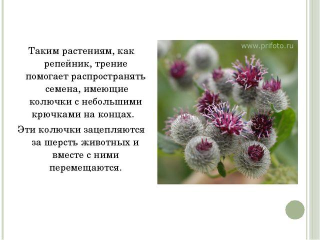 Таким растениям, как репейник, трение помогает распространять семена, имеющи...