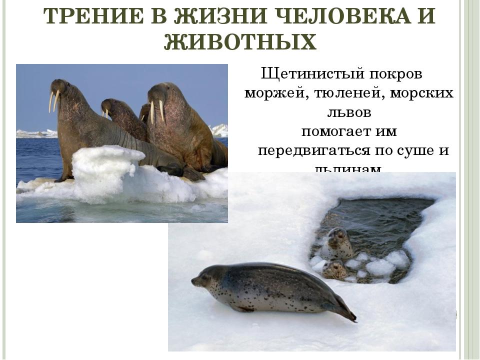 ТРЕНИЕ В ЖИЗНИ ЧЕЛОВЕКА И ЖИВОТНЫХ Щетинистый покров моржей, тюленей, морских...