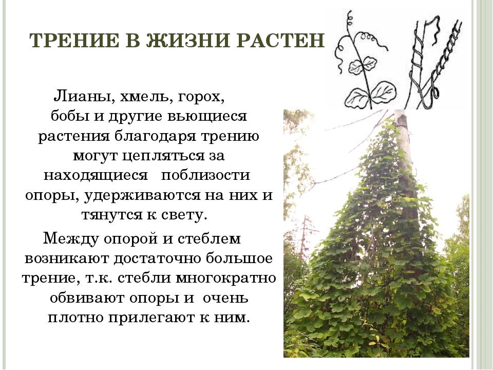 ТРЕНИЕ В ЖИЗНИ РАСТЕНИЙ Лианы, хмель, горох, бобы и другие вьющиеся растения...