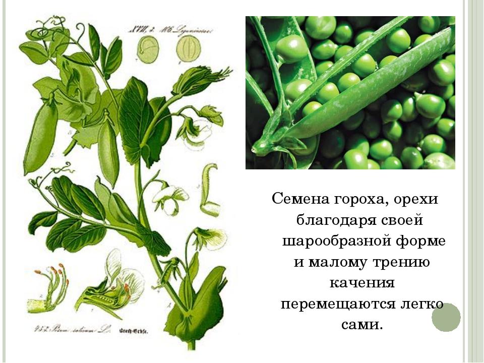 Семена гороха, орехи благодаря своей шарообразной форме и малому трению кач...