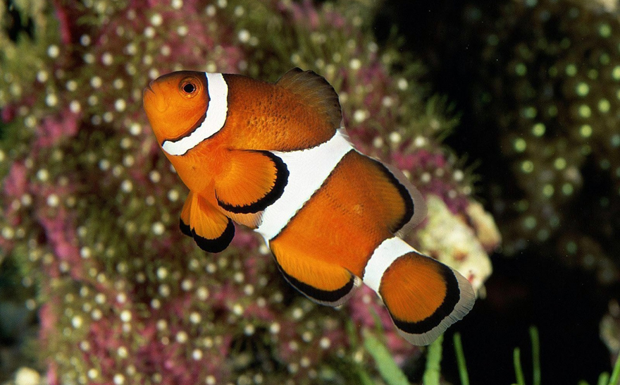 http://klimbo.ru/images/photoblog/animals/1/962%20Clownfish%20(3).jpg