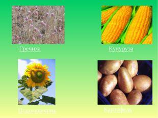 Гречиха Кукуруза Подсолнечник Картофель