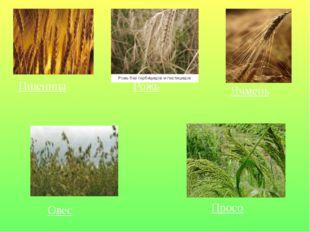 Пшеница Рожь Ячмень Овес Просо