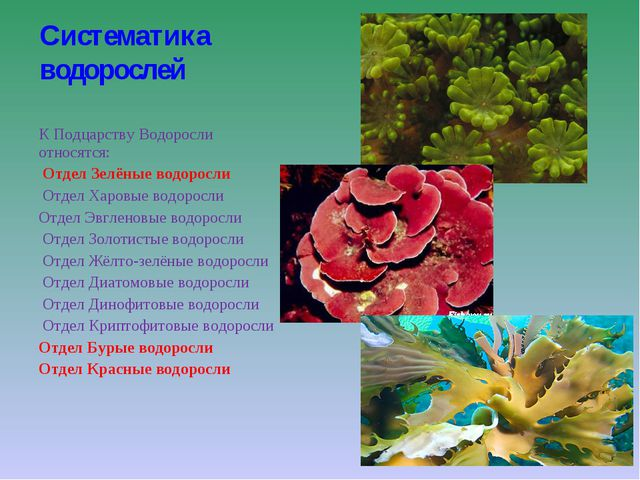Систематика водорослей К Подцарству Водоросли относятся: Отдел Зелёные водор...