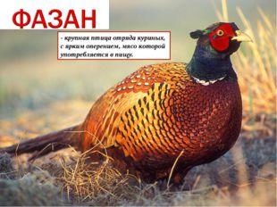 - крупная птица отряда куриных, с ярким оперением, мясо которой употребляется