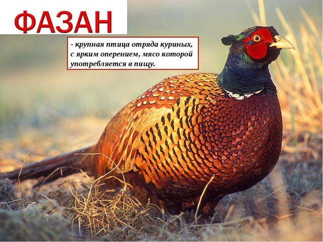 - крупная птица отряда куриных, с ярким оперением, мясо которой употребляется...