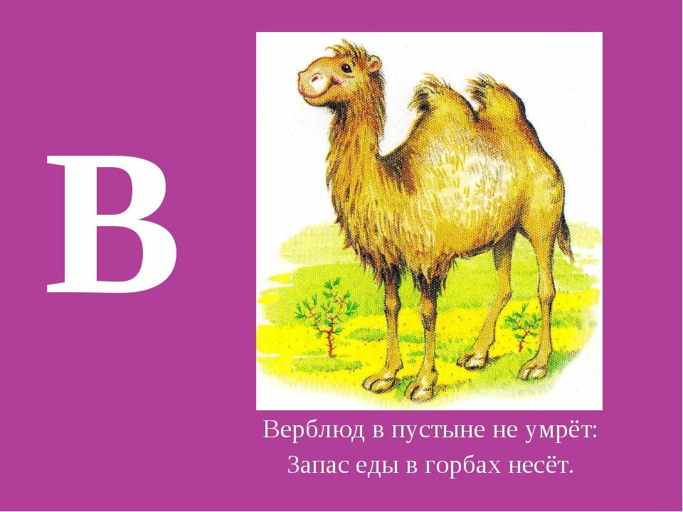 В Верблюд в пустыне не умрёт: Запас еды в горбах несёт.