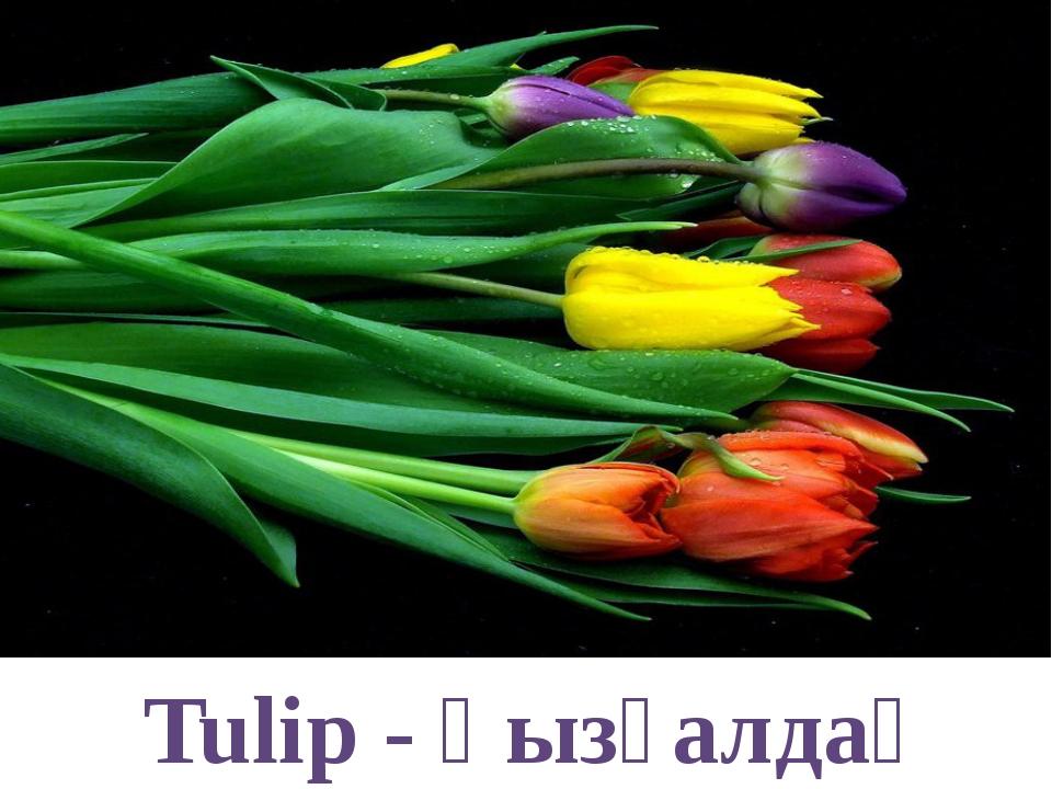 Tulip - қызғалдақ