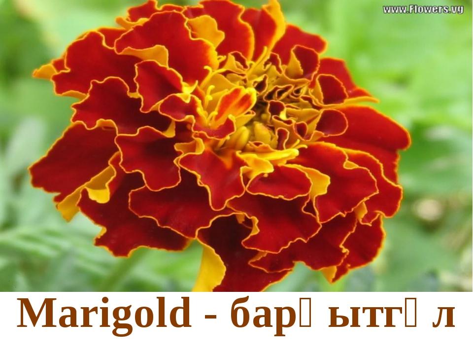 Marigold - барқытгүл