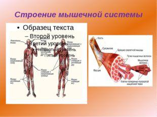 Строение мышечной системы