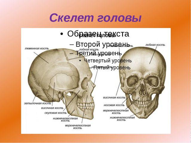 Скелет головы