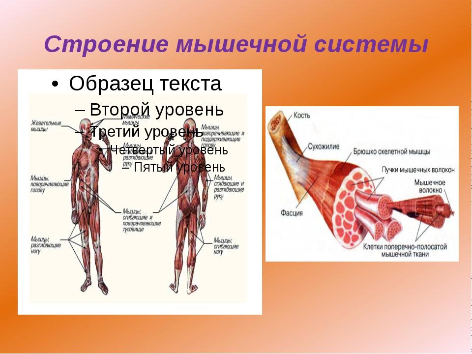 Внутреннее строение мышцы человека схема
