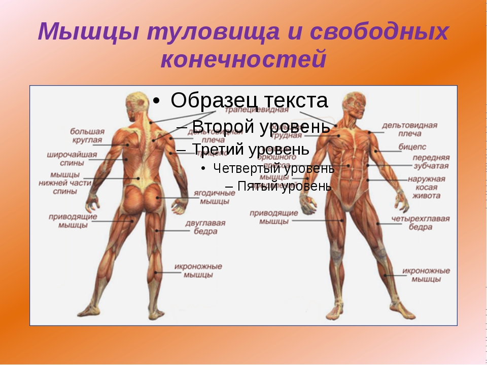 Мышцы туловища и свободных конечностей