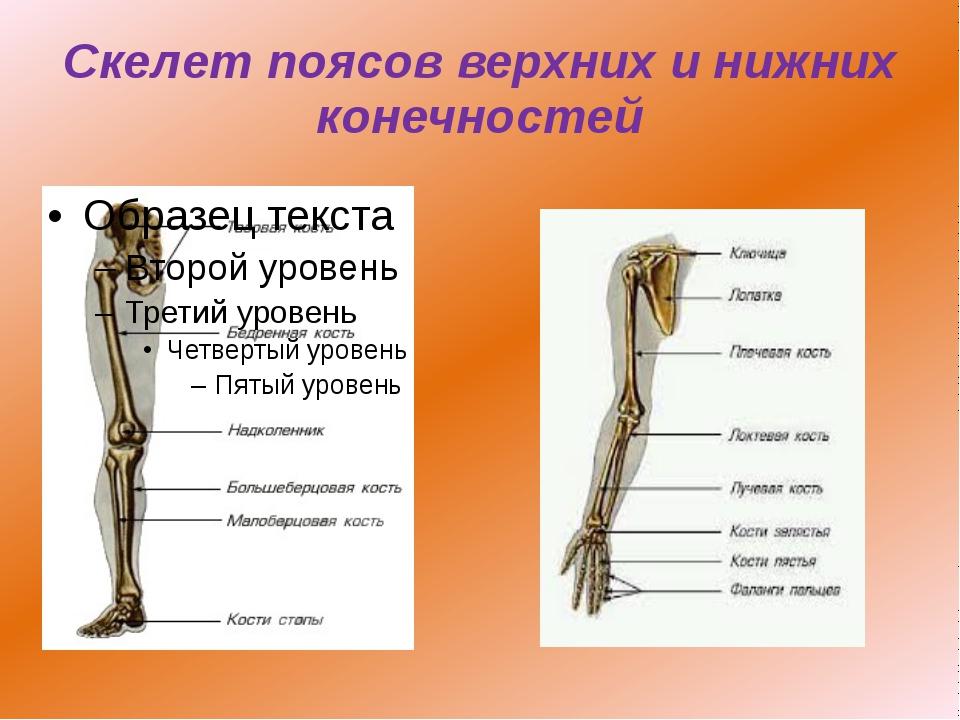 Скелет поясов верхних и нижних конечностей