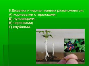 8.Ежевика и черная малина размножаются: А) корневыми отпрысками; Б) луковицам