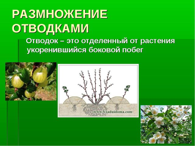 РАЗМНОЖЕНИЕ ОТВОДКАМИ Отводок – это отделенный от растения укоренившийся боко...