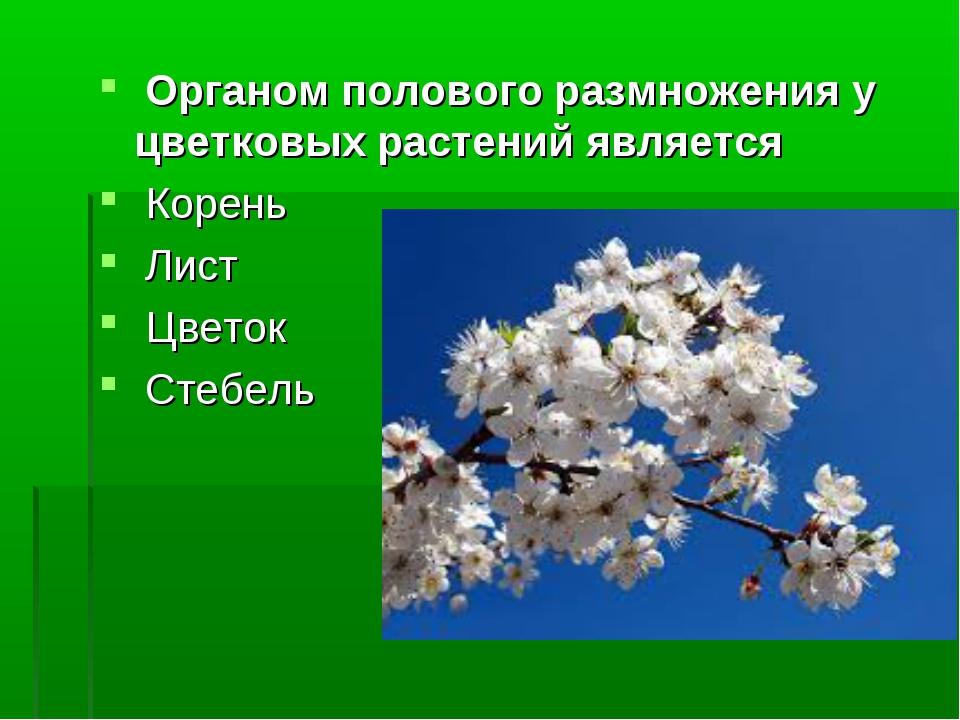 Органом полового размножения у цветковых растений является Корень Лист Цв...