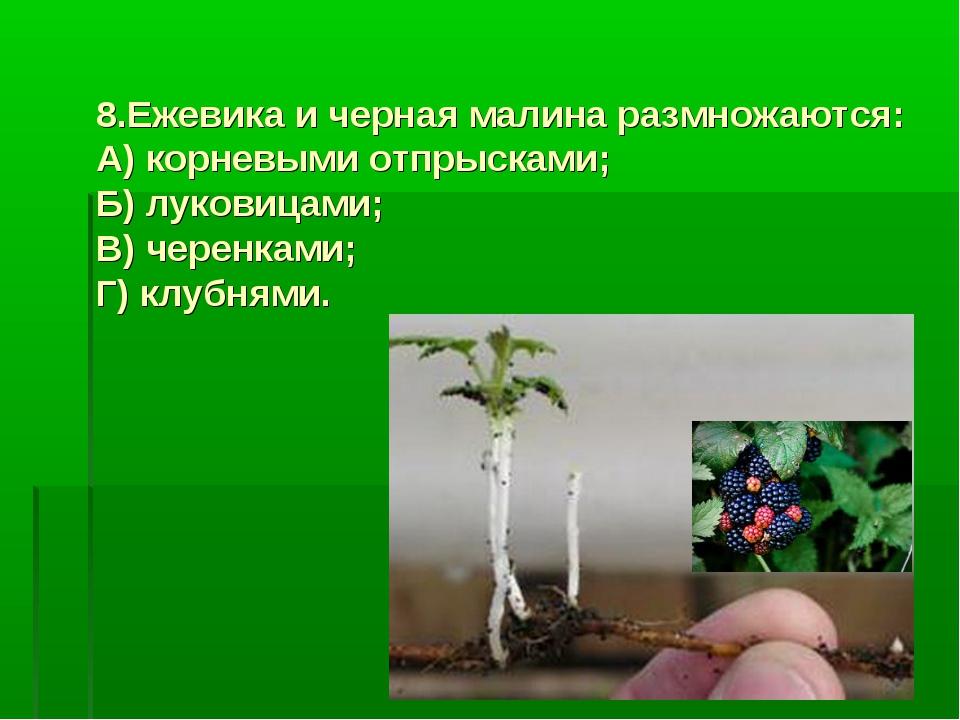 8.Ежевика и черная малина размножаются: А) корневыми отпрысками; Б) луковицам...