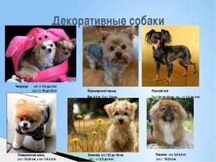 Декоративные собаки Чихуахуа вес от0,5 до 3 кг, рост от10 до 23кг Йоркши