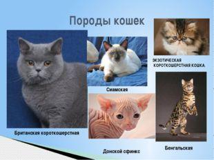 Породы кошек Британская короткошерстная Сиамская Донской сфинкс ЭКЗОТИЧЕСКАЯ