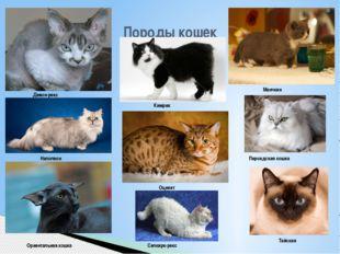 Породы кошек Девон-рекс Кимрик Манчкин Наполеон Ориентальная кошка Оцикет Пер