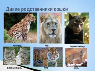 Дикие родственники кошки леопард лев чёрная пантера снежные барсы тигр рысь