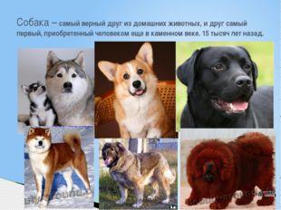 Собака – самый верный друг из домашних животных, и друг самый первый, приобре