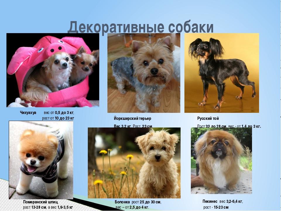 Декоративные собаки Чихуахуа вес от0,5 до 3 кг, рост от10 до 23кг Йоркши...