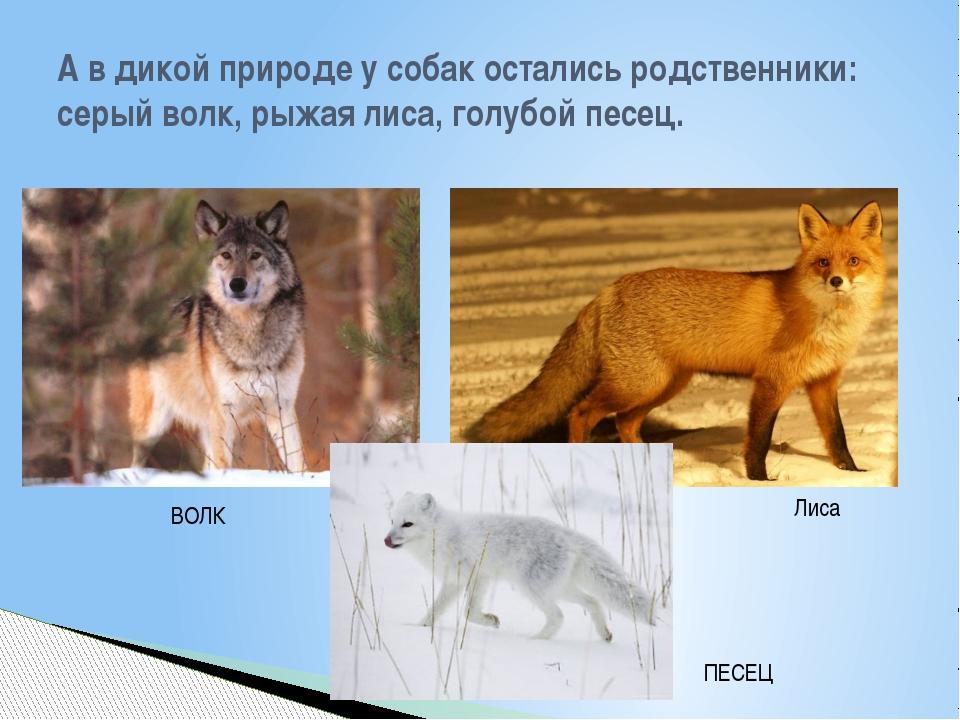 А в дикой природе у собак остались родственники: серый волк, рыжая лиса, голу...